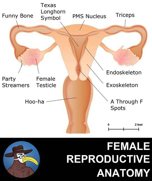 Anatomy of the Female Reproductive System.jpg